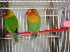 casal fischers...cores vivas....