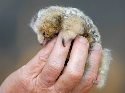 Silky Anteater
