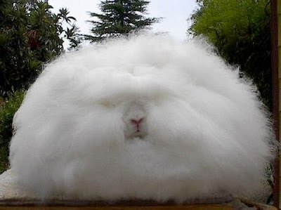 Angora Rabbit