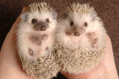 African Pygmy Hedgehog