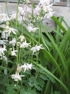 Columbine Perennial Flower