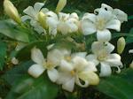 Bunga Kerak Nasi