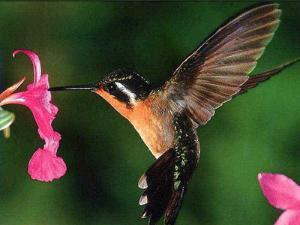 CARA BUDIDAYA DAN MERAWAT HEWAN: mengenal burung kolibr