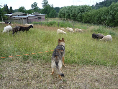 learning to herd sheep