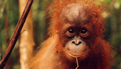 really happy looking orangutan cutie chewing on straw pic