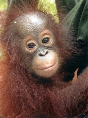 amazing cute photo of orangutan baby