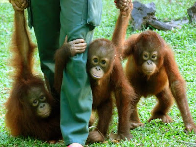 photo of three affectionate baby orangutans keeping close to the zoo keeper