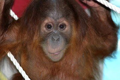 orangutan photos cute little long face baby with wide brown eyes