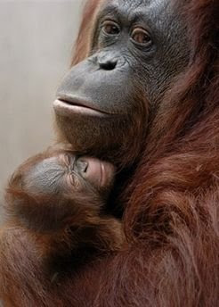 orangutan photo of mom and baby