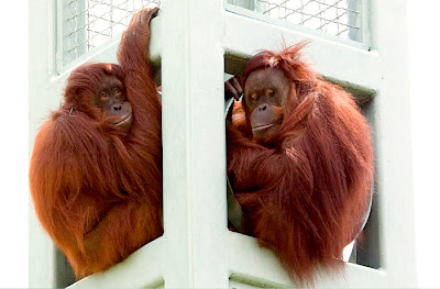 two orangutan photo sitting at the zoo