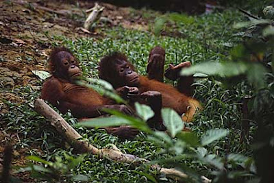two young orangutans relaxing in the jungle picture