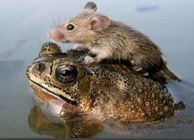 http://4.bp.blogspot.com/_xwE0rBDpg1Y/SPSWZEKpMiI/AAAAAAAAB_g/R0GG2L7yTIQ/s400/crazy-photos-mouse-riding-toad.jpg