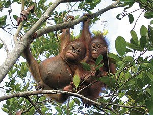 really cute photo of two swinging in the trees young orangutans in the jungle