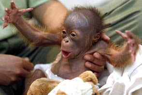 gorgeous cute little baby orangutan photo looks like describing a fish catch