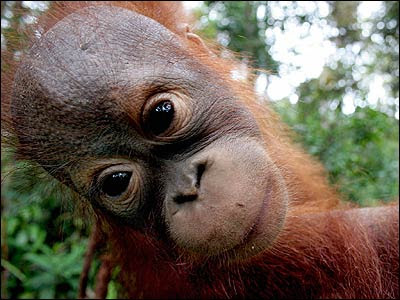 really close up photo of big eyes orangutan youngster