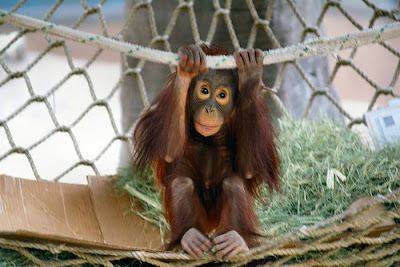 orangutan photos of young guy just hanging around on rope in enclosure