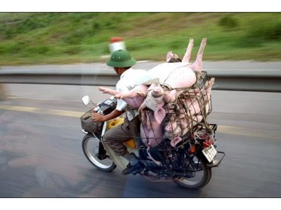 funny overloaded bike with pigs
