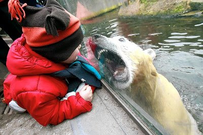 biting angry mean polar bear