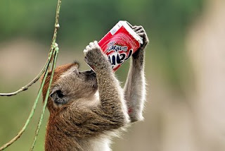 funny monkey drinking soda
