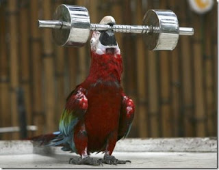 really funny photo of parrot weightlifting barbell