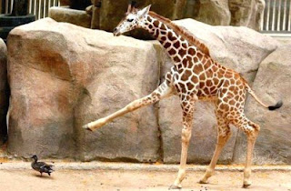 funny animals funny giraffe photos marching after duck
