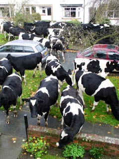 funny photo of cows escaped in the suburbs local street gardens