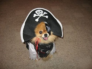 really cute pomeranian puppy dressed up as a pirate for maybe halloween with eye patch and hat