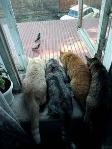 funny animal photos four cats sitting patiently ready to pounce on pigeon birds from window