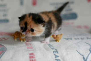 really tiny really cute kitten photo funny animals