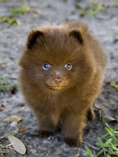 really cute pomeranian puppy with blue eyes posing for photo special
