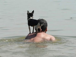 funny animal pictures dog riding mans back while swimming