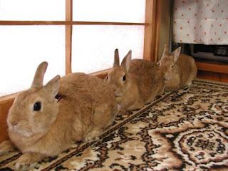 funny animal pictures 3 brown rabbits very still photo