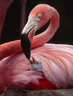 funny animal photos pink flamingo feeding child