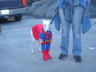 funny dog pictures greyhound dressed as superman faster than a speeding bullet