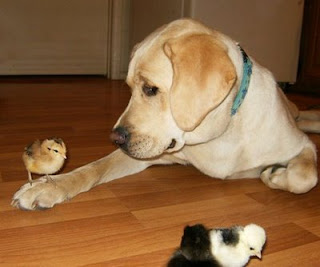 funny labrador pictures taking care of chicken chicks resting on leg