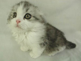 really cute tiny pussy cat kitten gray and white photo