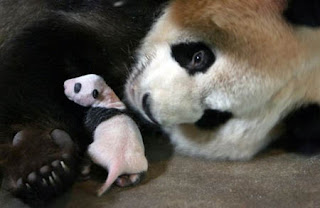 really cute tiny baby panda bear photo looked after by mother