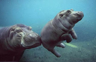 funny hippo picture of mother giving child a push underwater photo