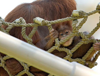 really cute orangutan baby on the ropes with mother posing for photo