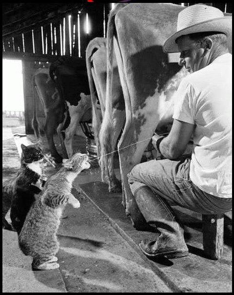 gato leche de vaca
