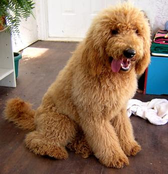 Standard Poodle Cuts Dogs