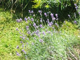 'cottage lavender'
