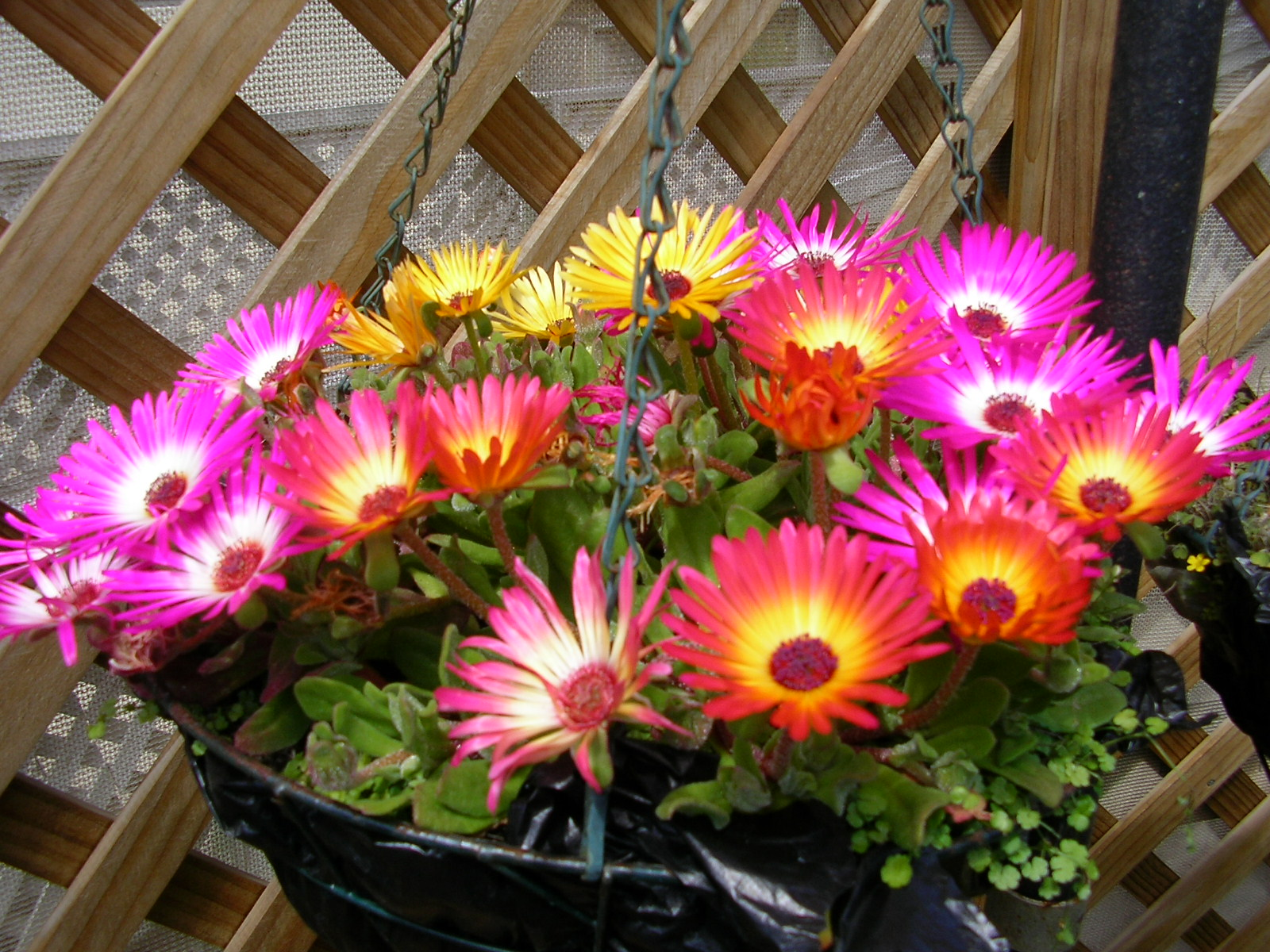 Glennis 39 S Other Blog Hanging Baskets Of Flowers