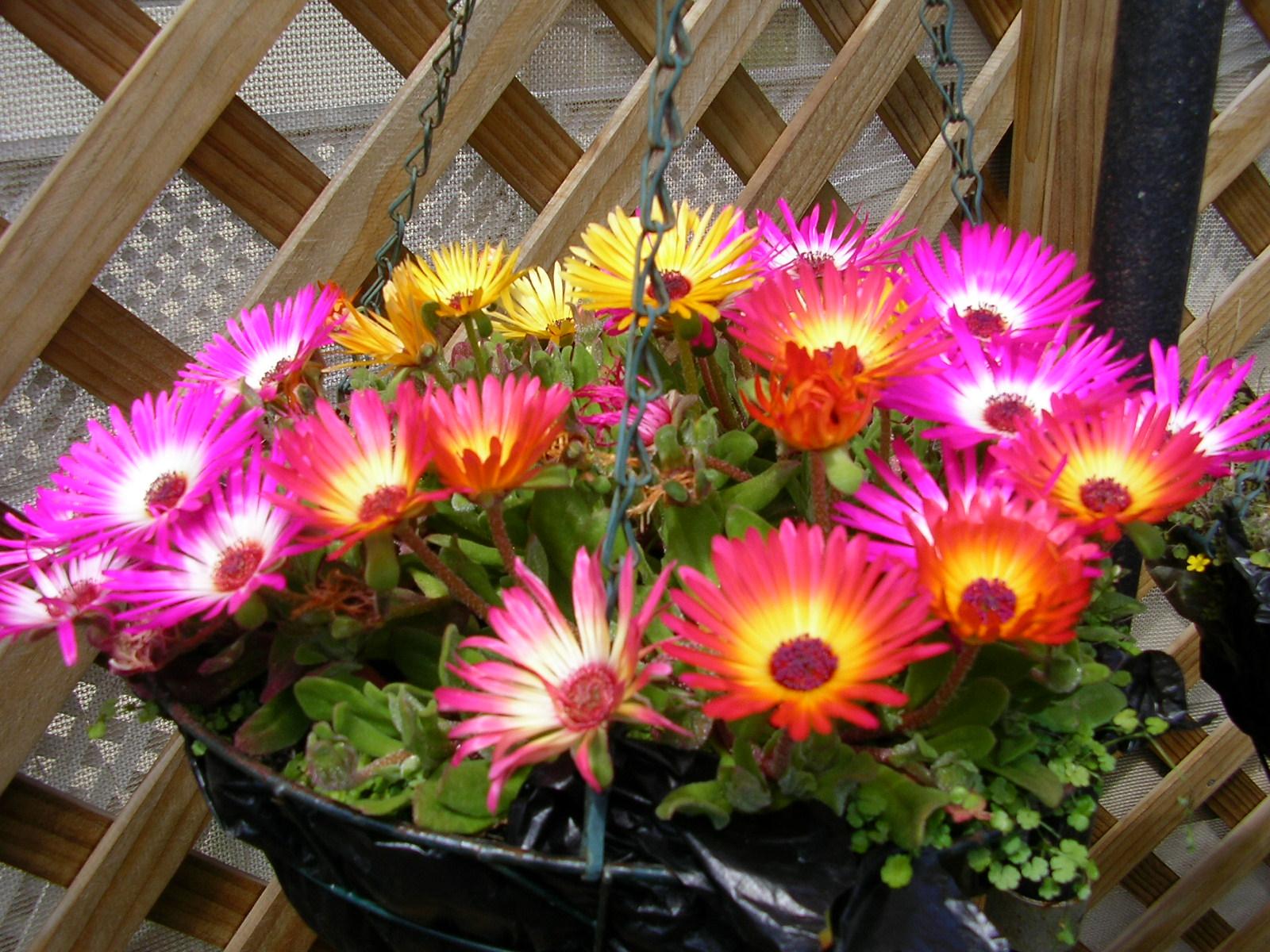 Glennis 39 s other blog hanging baskets of flowers Hanging basket flowers