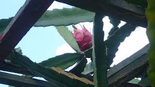 picture of Dragon Fruit that is almost ready for Harvest