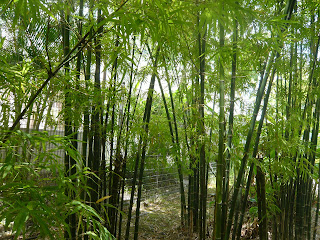 gardens growing food eaten by Singaporeans under Japanese occupation - Bamboos