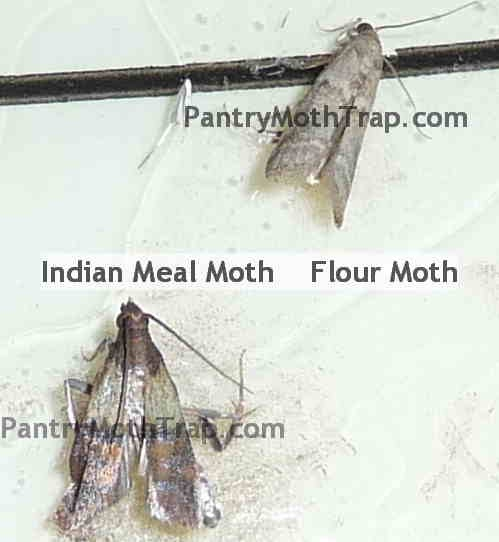how to kill off pantry moths