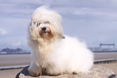 Coton de Tuléar,élevage chiots coton de tulear lof bébés coton à réserver disponibilités nantes bretagne vendée paris chiens de race