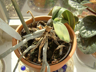 Rotten orchid roots