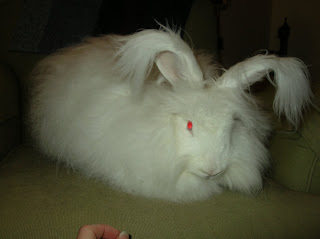 Empire's Rosalind hybrid angora rabbit